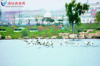 50余只白天鹅不时在临朐县蒋峪镇莲湖公园